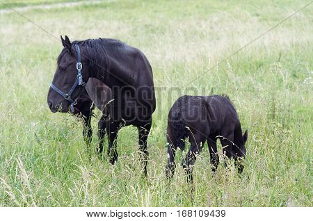 Image of the black mare with colt on horse lot
