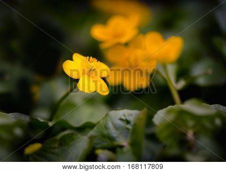 Wild Yellow Marigolds
