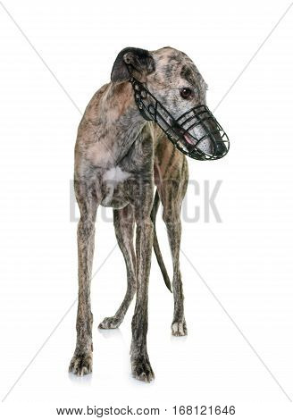 galgo espanol with muzzle in front of white background