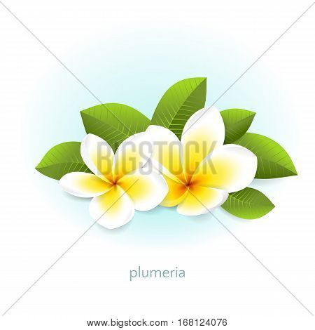 Vector plumeria with leaves. White tropical flowers from Asia and Hawaii. Isolated from the background.