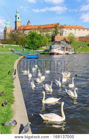 Swans near the historic Royal Wawel castle Cathedral on the Vistula.