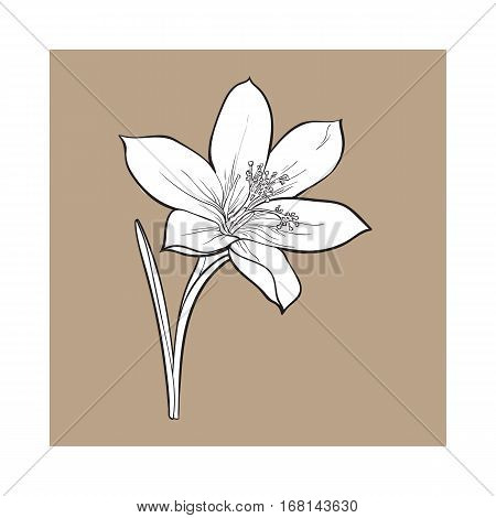 Delicate single crocus spring flower with stem and leaf, sketch style vector illustration isolated on brown background. Realistic hand drawing of crocus, first spring flower in vertical position