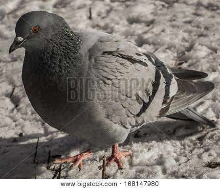 Pigeon, dove, pigeon on the snow, gray pigeon closeup, city birds. Dove -  a bird of peace