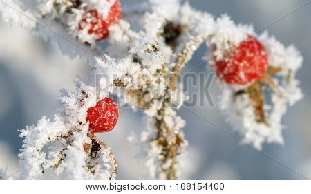 Wild Rose In Frost