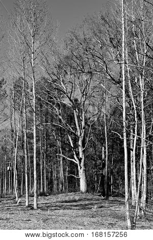 Barren trees in the forest at winter season north Georgia, USA