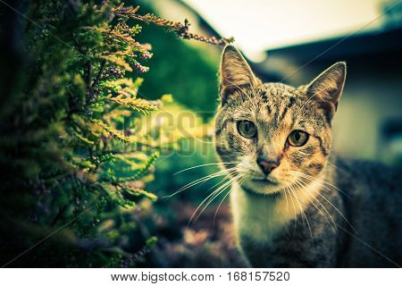 Cat Outdoor Portrait. Domestic Cat in the Garden. Furry Carnivorous Mammal.