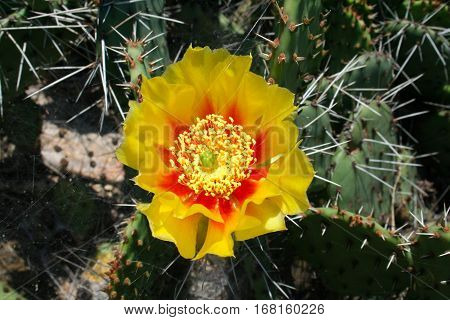 Opuntia cactus (prickly pears) with yellow flower. Closeup photo.