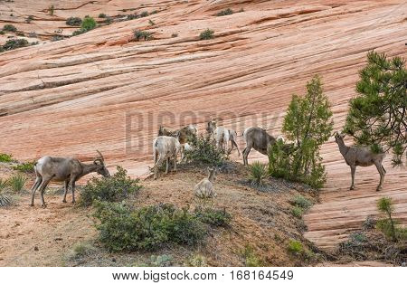 Bighorn sheep (Ovis canadensis canadensis) herd in Zion national park, Utah, USA
