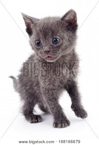 Small gray kitten isolated on white background.
