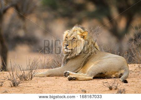 Male African lion (Panthera leo) resting in natural habitat, Kalahari desert, South Africa