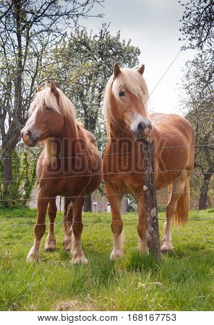 Portrait of two Blond Belgian draft horses in spring pasture
