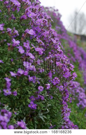 Beautiful violet primula fence along the road