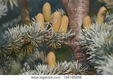 Atlas cedar (Cedrus atlantica). Another scientific name is Cedrus libani atlantica. Pollen cones