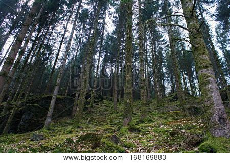 Beautiful pinetrees in the forest in spring in Belgium