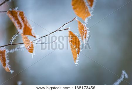 Close Up Of Beech Leaves With Hoarfost In Winter Forest