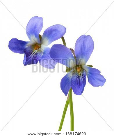 Two early spring flowers  ( Viola odorata) isolated on white background. Shallow depth of field. Selective focus.