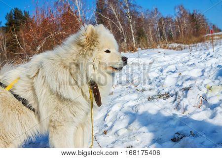 White fluffy Samoyed on a leash. close-up portrait.
