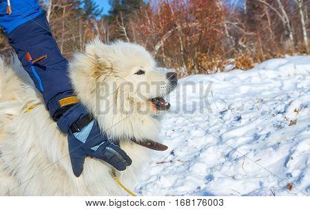 White fluffy Samoyed dog howls. close up portrait.