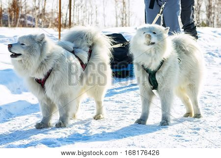 pair of fluffy white Samoyed dogs in harness. close-up portrait.
