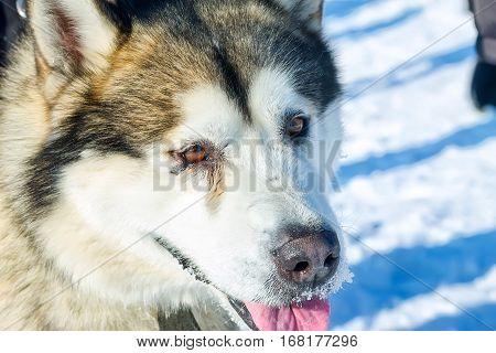 Alaskan Malamute dog portrait in front camera.