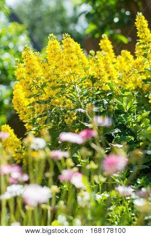 Lysimachia in garden. Yellow flowers close up. Shallow dof.