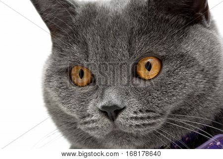 portrait of a cat with yellow eyes on a white background. horizontal photo.