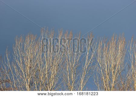 tree tops against blue sky in winter time