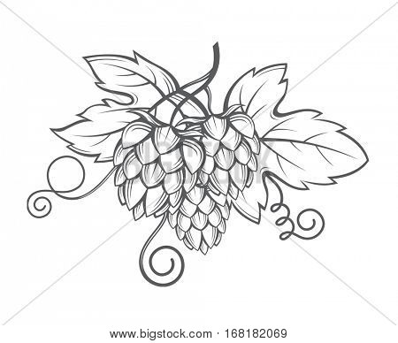 illustration of hops for brewing