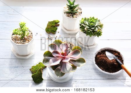 Florist concept. Replanting beautiful succulents on white wooden background