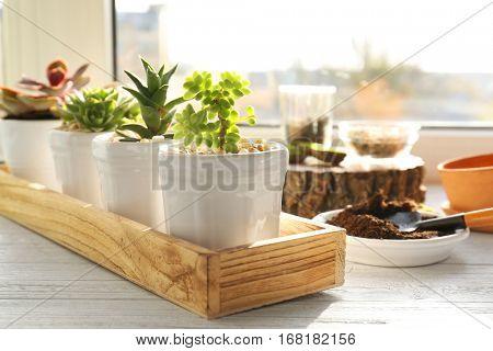 Florist concept. Replanting beautiful succulents on windowsill
