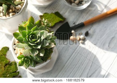 Florist concept. Replanting beautiful succulent on white wooden background