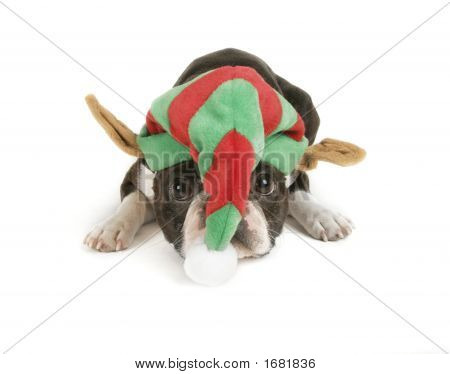 boston terrier in santa hat looking sad poster