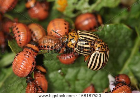 Potato Beetles Destroyers
