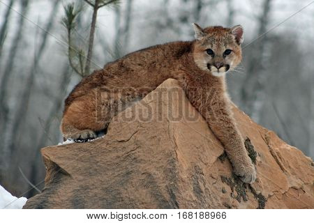 Baby cougar relaxing on top of a rock