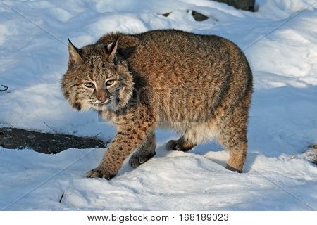 A bobcat walking through a snowy forest