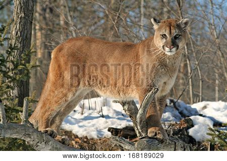 A cougar on a rock watching over his territory