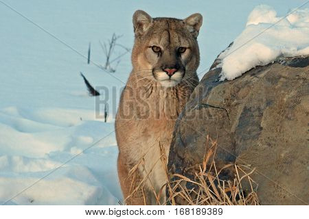 A cougar watching from behind a snowy rock
