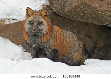 The striking & unusual Cross Fox standing in the snow near its den