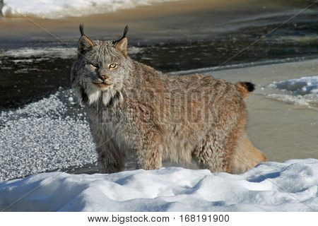 Canada Lynx standing on a snow-covered riverbank