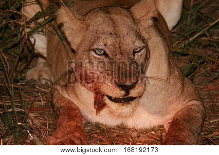 Lioness feeding on a recent kill at night in South Luangwa National Park, Zambia, Southern Africa