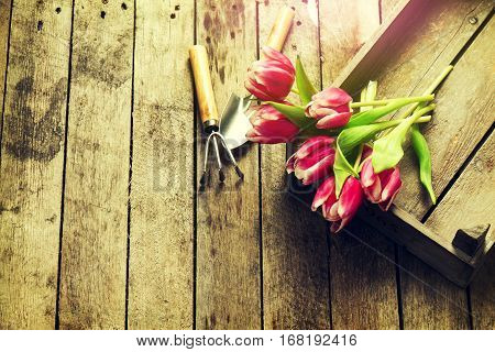 Spring Vacation or Summer Concept. Beautiful Purple Bouquet of Tulips in Wooden Box with Gardening Tools on Wooden Table.