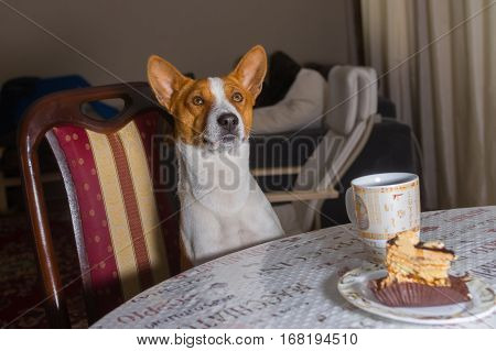 Gorgeous gorgeous basenji dog sitting at the table in dining-room and ready to taste cake with cap of tea