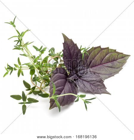 Close up studio shot of fresh red basil and thyme herb leaves isolated on white background. Purple Dark Opal Basil