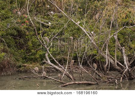 A rookery with several black-crowned night herons