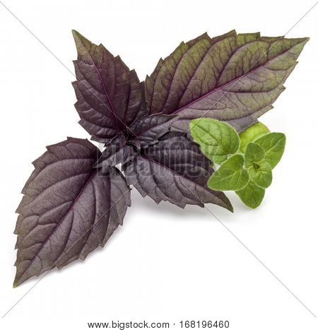 Close up studio shot of fresh red basil and oregano herb leaves isolated on white background. Purple Dark Opal Basil