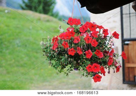 Red flowers near Trentino Alto Adige, Italy