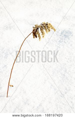 sear european goldenrod or Solidago virgaurea on snow in winter, copy space for text