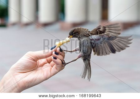 Sparrow on a fly eating a piece of dough. The girl feeds the bird in the city. Female hand with manicure. Feeding Sparrow. Wingspan flight.