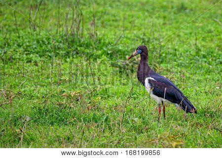 Wild Abdim's stork or Ciconia abdimii outdoor