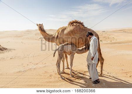 LIWA UAE - DEC 4 2016: Camel with her calf and a farm worker in Liwa Oasis. Emirate of Abu Dhabi United Arab Emirates